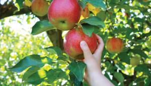 low-hanging-fruit